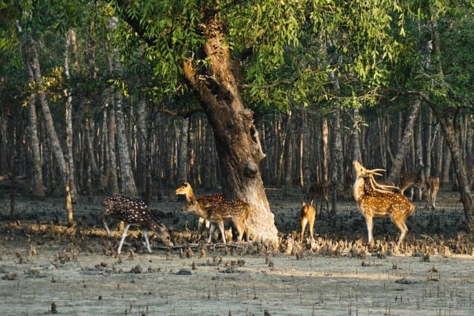 Deer in the Sundarbans National Park