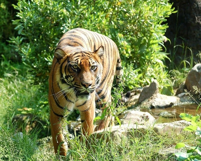 Deforest Solutions to help the Sumatran Tiger by Hans Braxmeier from Pixabay