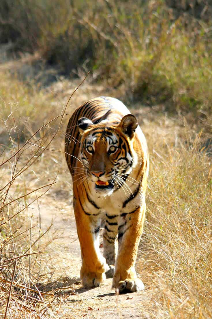 Holiday destinations in India to see Tigers -Bandipur Tiger Reserve