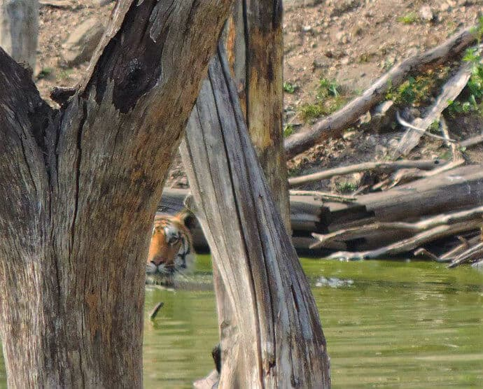 Places to go in India to see Tigers -Pench Tiger Reserve