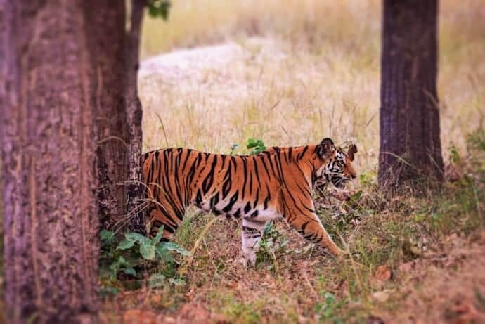 Places to travel in India to see Tigers - Bandhavgarh national park India