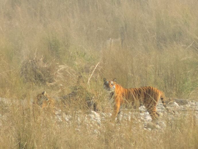 a bengal tiger at Corbett