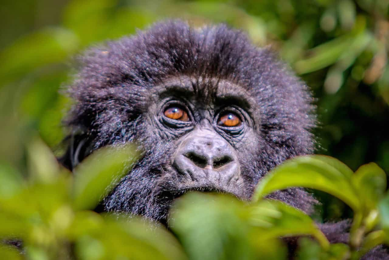 Baby Mountain Gorilla in Volcanoes National Park, Rwanda