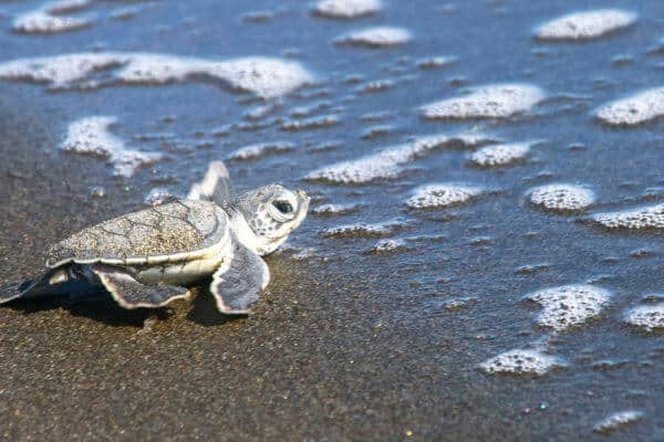 Baby green sea turtle in Tortuguero National Park, Costa Rica.