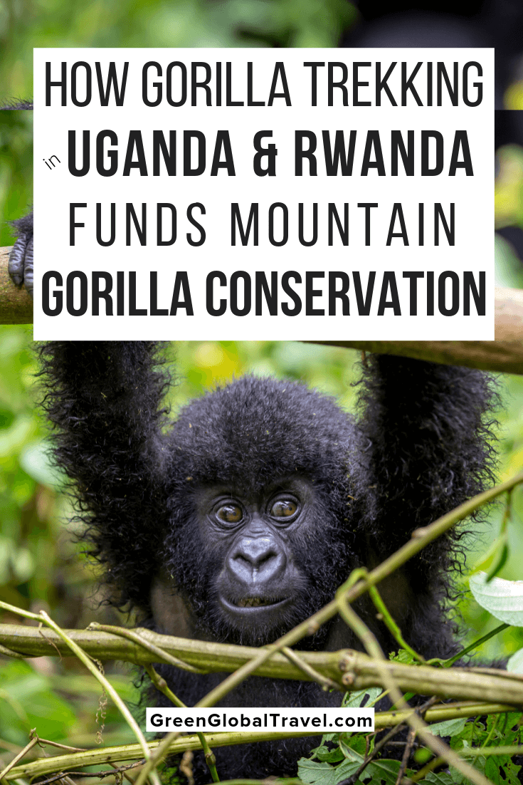 The Ultimate Guide to Gorilla Trekking in Uganda & Rwanda. Includes details on trekking permits, what to expect from the experience, and what to pack | Uganda Gorilla Permits | gorilla safaris | gorilla tracking | gorilla tours | gorilla trekking in uganda | gorilla trekking | uganda safaris | gorilla safaris in uganda | uganda tours | uganda gorilla trekking | uganda gorilla tours | gorilla trekking uganda mountain gorillas | uganda gorilla trek | uganda gorilla | gorilla trekking safaris