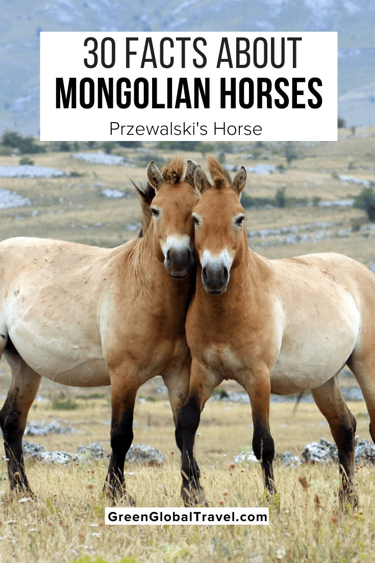 30 Facts About Mongolian Horses (a.k.a Przewalski's Horse or Takhi) | Przewalskis Horse | mongolian wild horse | equus przewalskii | przewalski's horse habitat | przewalski's horse endangered | asian wild horse | equus ferus przewalskii | przewalski's horse predators | mongolian horse | endangered horses | rare horses | Mongolian animals | Mongolia wildlife