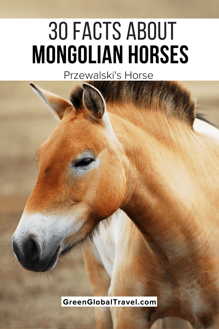 30 Facts About Mongolian Horses (a.k.a Przewalski's Horse or Takhi) including Mongolian Horse Facts, Mongolian Horse Habitat, Mongolian Horse Diet, Why Mongolian Horses are Endangered & Conservation. | Przewalskis Horse | mongolian wild horse | equus przewalskii | przewalski's horse habitat | przewalski's horse endangered | asian wild horse | equus ferus przewalskii | przewalski's horse predators | mongolian horse | endangered horses | rare horses | Mongolian animals | Mongolia wildlife