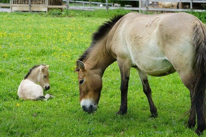 Przewalski wild horse with foal