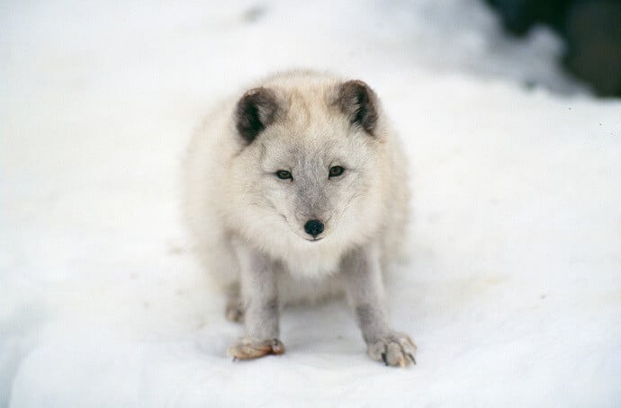 Arctic Fox by dclobes from Pixabay