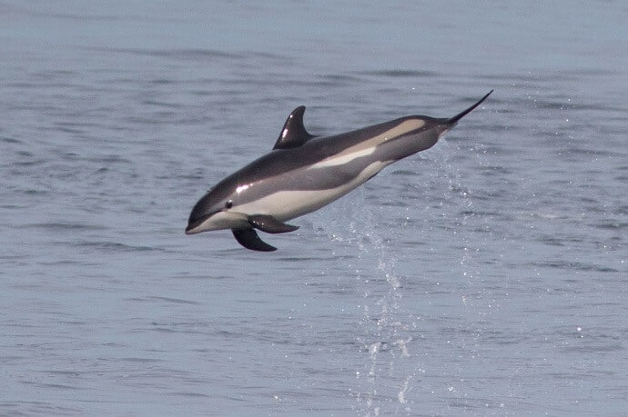 Atlantic White-sided Dolphin by Anna [CC BY-SA 4.0