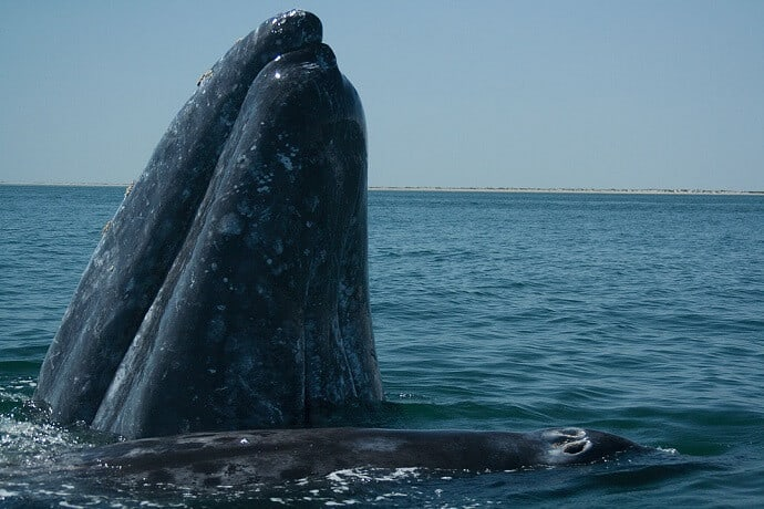 Adult Gray Whale with calf