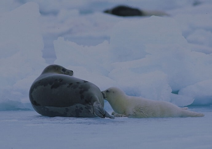 Harp Seal, Mother & Pup by Visit Greenland