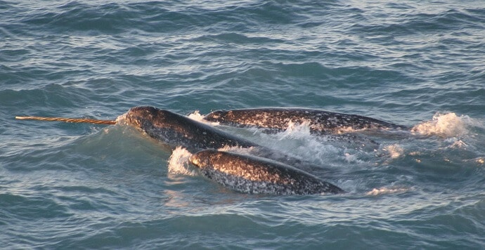 A pod of narwhals.