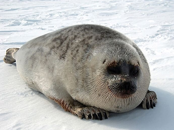 Ringed Seal Pusa hispida hispida