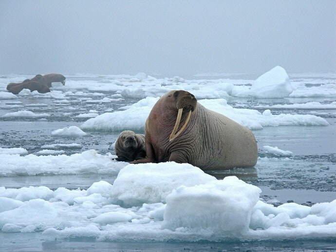 Bull Walrus and cow on ice