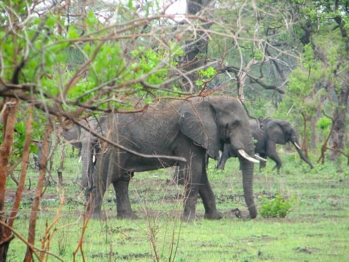 Elephants in Malawi