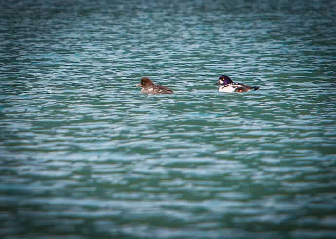 Goldeneye Ducks Near Pederson Glacier at Kenai Fjords Glacier Lodge