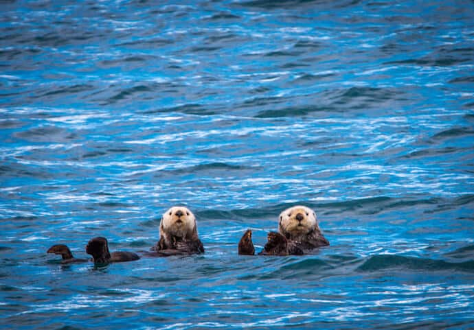 Sea Otters in Kenai Fjords National Park