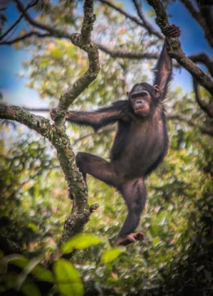 Chimpanzee in Rwanda's Nyungwe Forest National Park
