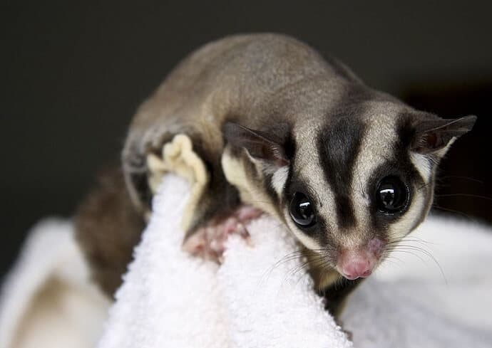 Australian Tree Animals -Sugar Glider