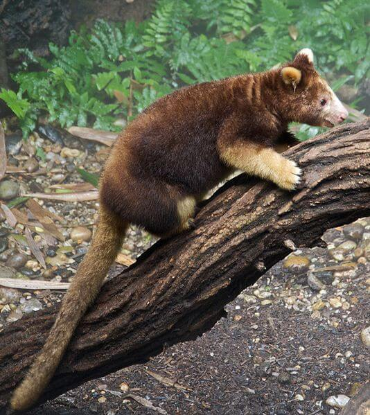 Australian Species -Tree Kangaroo