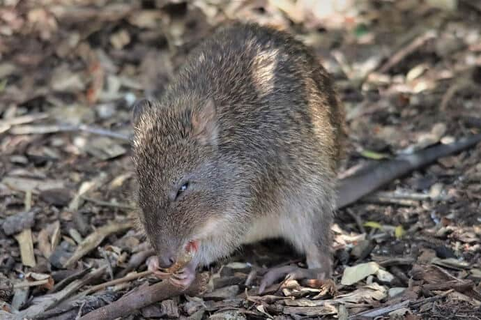 Australian Wild Animals -Bandicoot