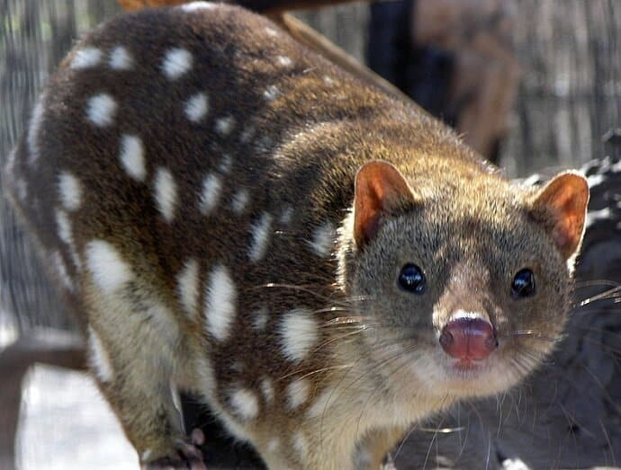Australian Wildlife -Spotted Quoll