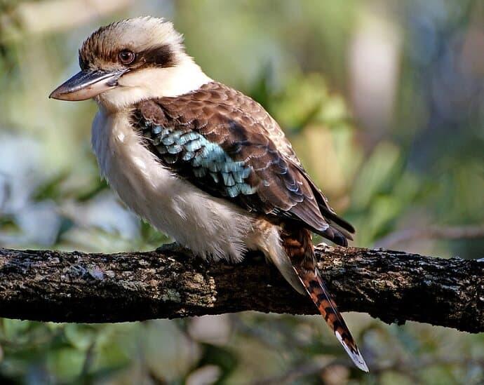Australian birds- Kookaburra