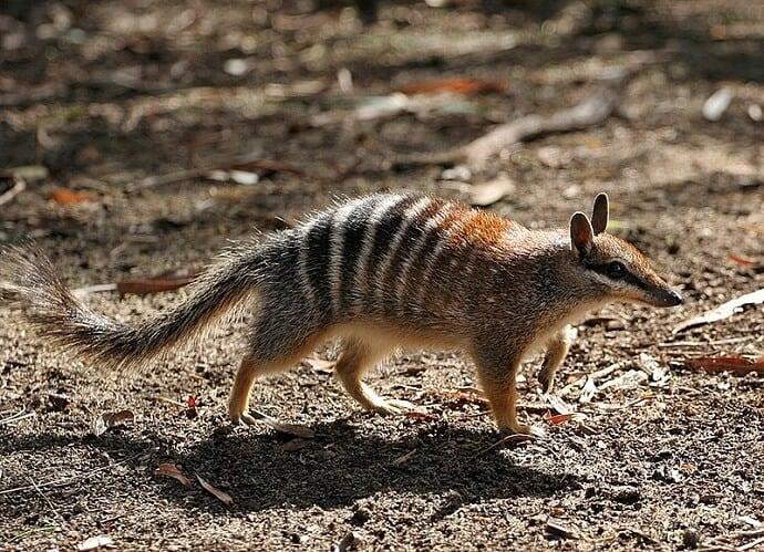 Australian creatures -Numbat