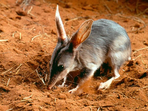 Australian grasslands animals -Bilby