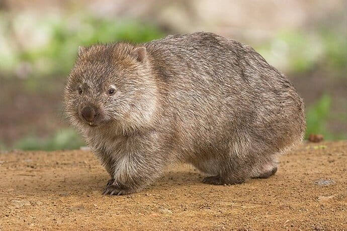 Australian Land Animals -Wombat