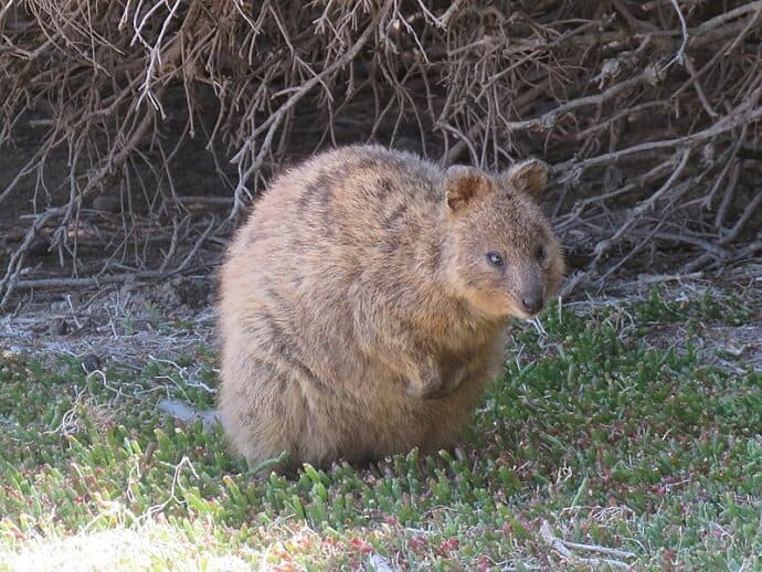 Quokka - Cute Australian Animal