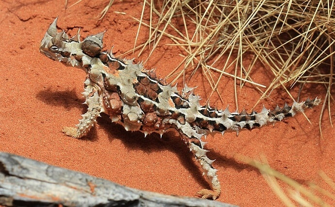 Weird Australian Animals -Thorny Devil