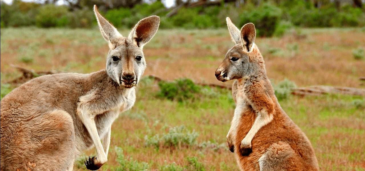 Cute Australian Kangaroos