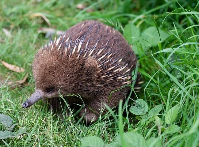 Unique Australian animals -Echidna