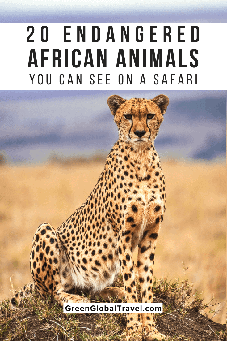 20 Endangered African Animals You Can See On A Safari and why their populations have been in decline. |african penguin | south african penguins | african wildlife | wild animals in africa | african rhino | african animals list | african animals endangered | endangered animals in africa | african animals that are endangered | endangered species in africa | endangered animals in south africa | rare animals in africa | exotic african animals | unique animals in africa