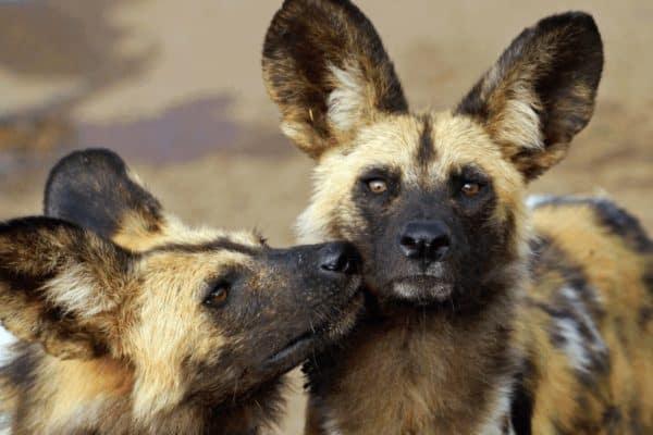 Endangered African Animals - African Wild Dog