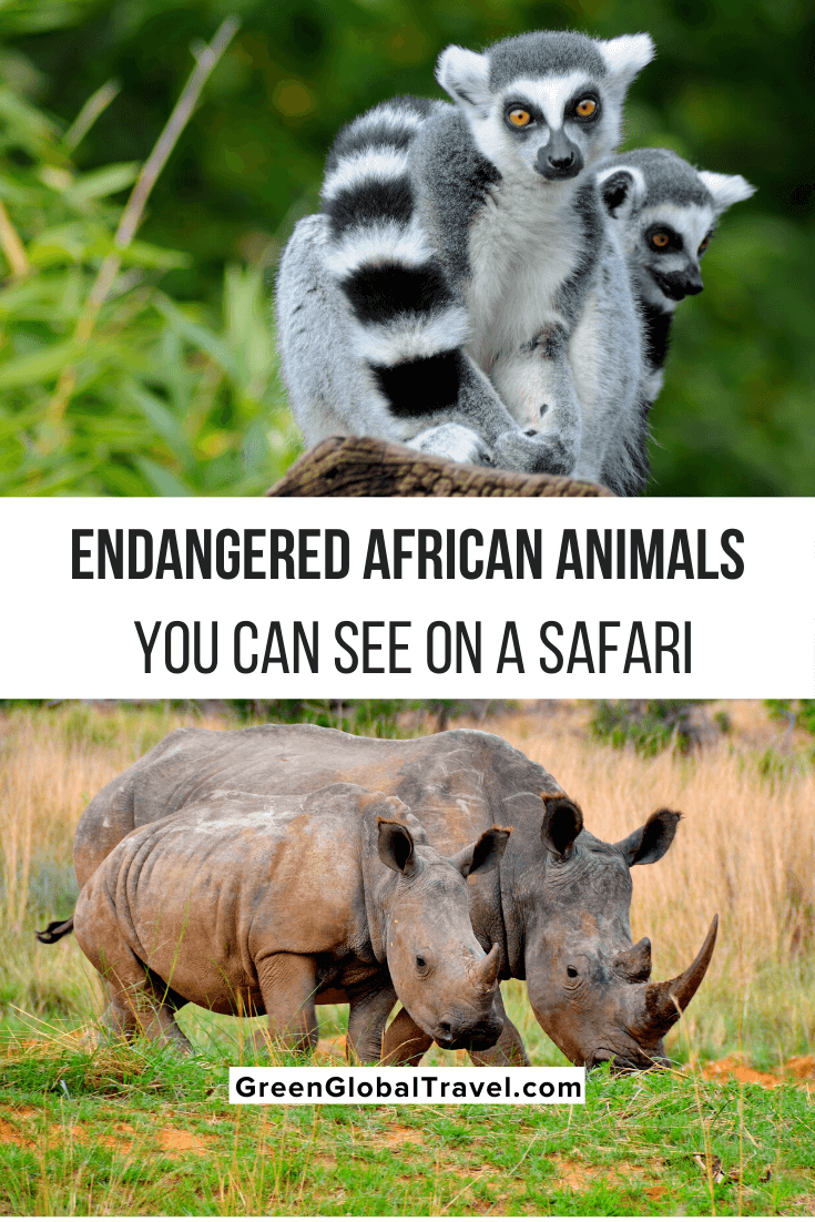 16 Endangered African Animals You Can See On A Safari and why their populations have been in decline. |african penguin | south african penguins | african wildlife | wild animals in africa | african rhino | african animals list | african animals endangered | endangered animals in africa | african animals that are endangered | endangered species in africa | endangered animals in south africa | rare animals in africa | exotic african animals | unique animals in africa