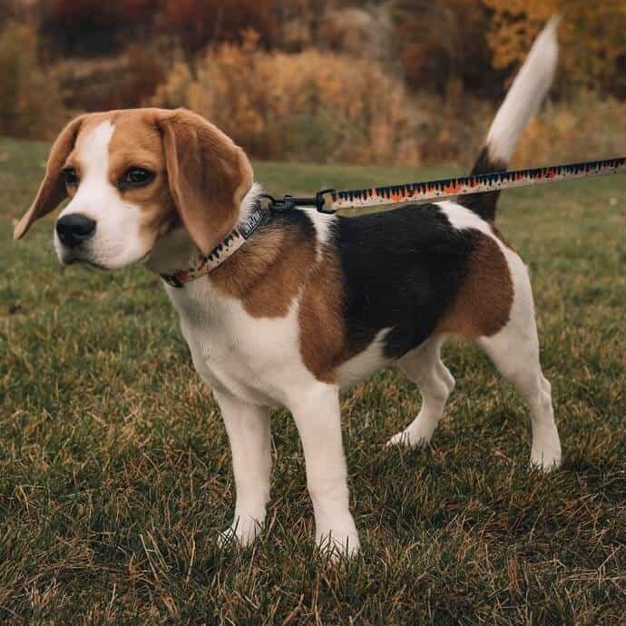 Wolfgang Dog Collar, Leash, Harness