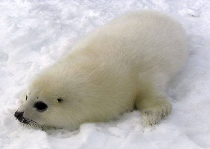 Baby Harp Seal