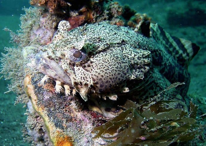 Oyster Toadfish