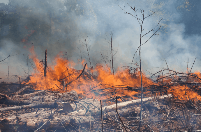 Clearing Forest for Palm Oil Plantations with fire