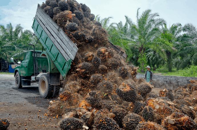 Harvesting Palm Oil