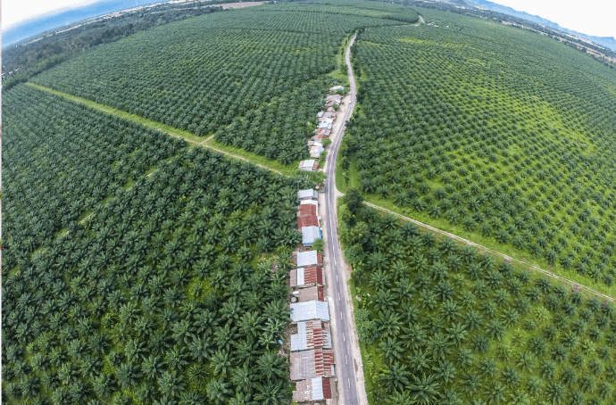 Overhead View of Palm Oil Plantation