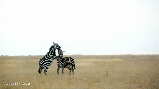 Two zebras joust