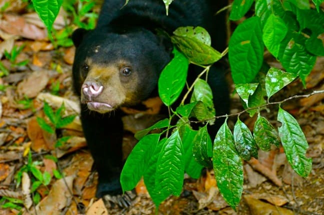Facts about Sun Bears -Sun Bear Cub at Borneo Sun Bear Conservation Centre