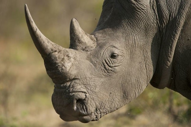 Rhino in South Africa