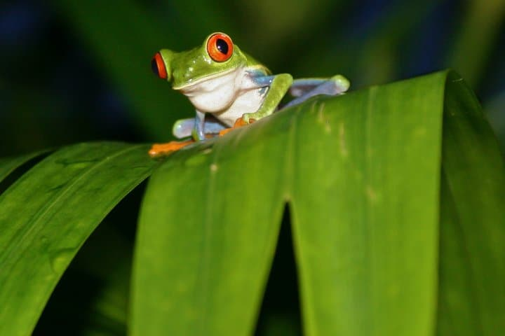 Ecotourism examples -Costa Rica's Red-Eyed Tree Frog in Tortuguero
