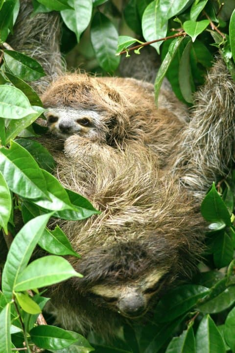 Best Things To Do in Costa Rica -Visit Tortuguero National Park to see Mama & Baby Sloths