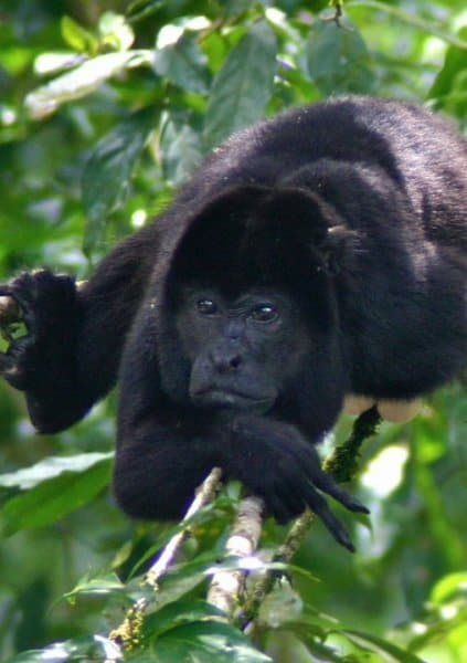 "Howler Monkey showing ""Peace Out"" sign in Tortuguero National Park, Costa Rica"